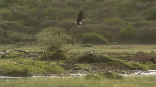 slomo ws pan african fish eagle takes off from tree - african fish eagle stock videos & royalty-free footage