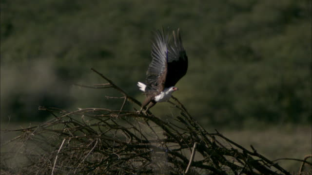 SLOMO African Fish Eagle takes off from tree
