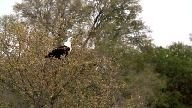 stockvideo's en b-roll-footage met african fish eagle taking off from branch in slow motion, kruger national park, south africa - african fish eagle