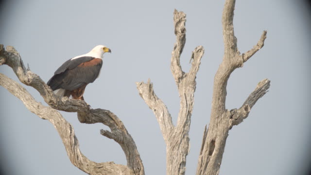 WS African fish eagle (Haliaeetus vocifer) taking off / Kruger National Park/ Mpumalanga/ South Africa