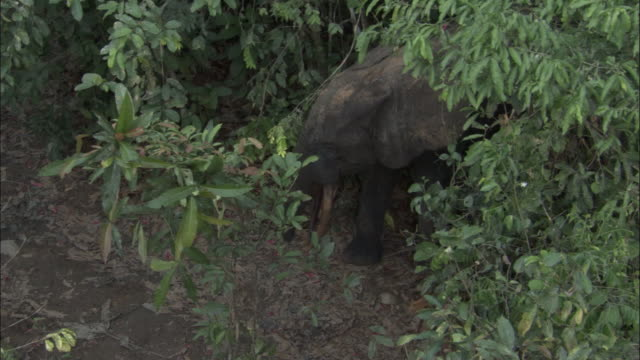 African forest elephant (L.a.cyclotis) in forest, Central African Republic
