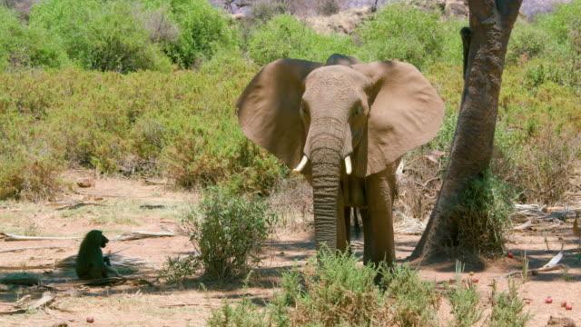 African Forest Elephant & Olive Baboons Under Tree Samburu  Kenya  Africa