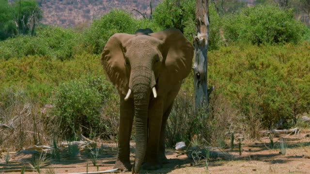 African Forest Elephant Samburu  Kenya  Africa
