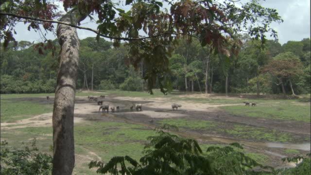 vidéos et rushes de african forest elephants (l.a.cyclotis) drink in clearing, central african republic - plan d'eau