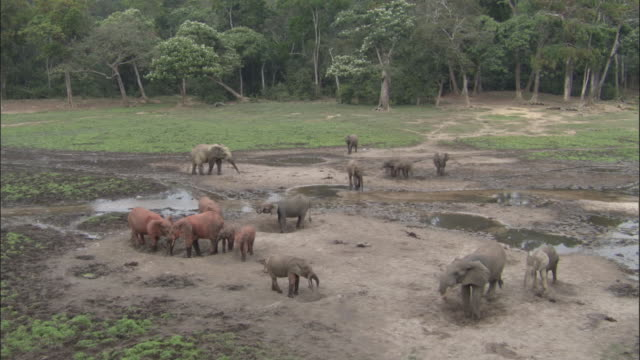 african forest elephants (l.a.cyclotis) drink in forest clearing, central african republic - 泥点の映像素材/bロール