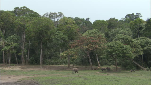 African forest elephants (L.a.cyclotis) enter clearing, Central African Republic