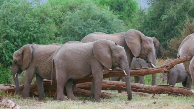 African Forest Elephants Grazing Samburu  Kenya  Africa