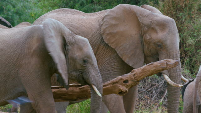 african forest elephants grazing samburu  kenya  africa - safari animals stock videos & royalty-free footage