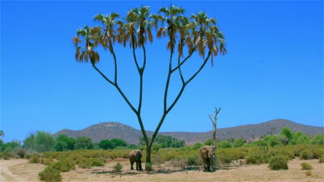 African Forest Elephants & Olive Baboon Samburu  Kenya  Africa