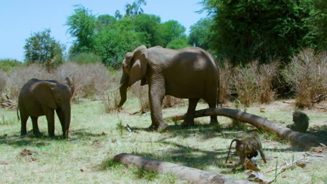 African Forest Elephants & Olive Baboons Samburu  Kenya  Africa