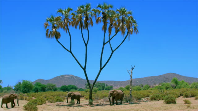 African Forest Elephants & Palm Tree Samburu  Kenya  Africa