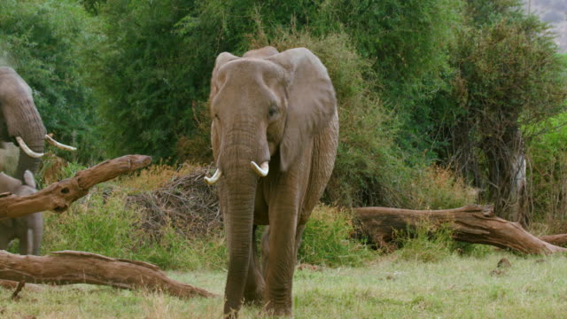 vidéos et rushes de african forest elephants walking samburu  kenya  africa - éléphanteau