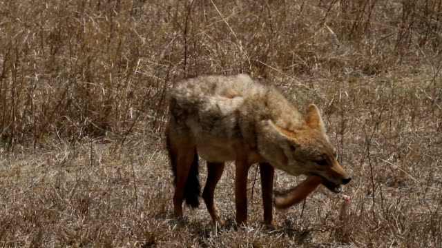 African golden wolf (Canis anthus) 2