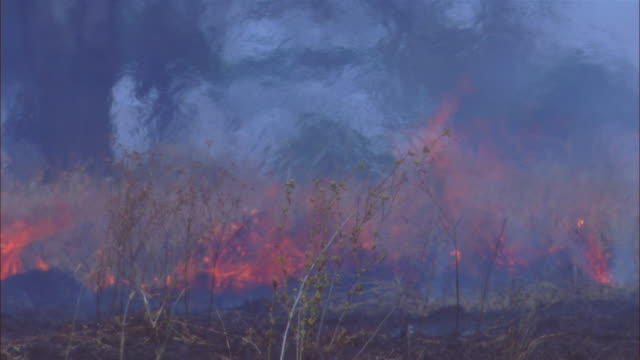 cu african grass fire with flames in foreground and heat haze and trees in back ground - grass area stock videos and b-roll footage