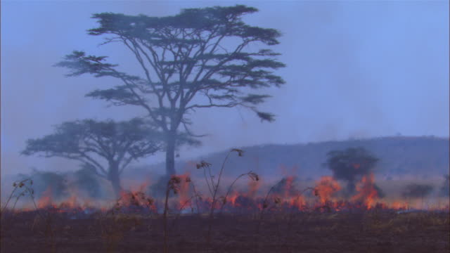 african grass fire with flames in foreground and heat haze and trees in back ground - grass area stock videos and b-roll footage