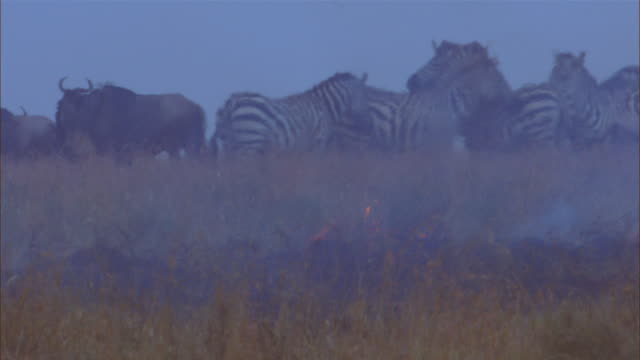 cu african grass fire with flames in foreground and zebra and wildebeest in background - 哺乳類点の映像素材/bロール