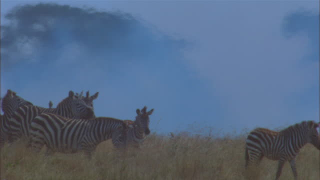 african grass fire with smoke and zebra in foreground with trees in background - 哺乳類点の映像素材/bロール