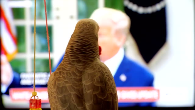 african grey parrot chewing bottle cap and watching white house briefing on covid19 in the background president 's remark on more testing - bottle cap stock videos & royalty-free footage