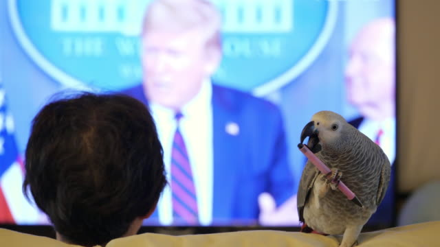 african grey parrot chewing pen while owner watching white house briefing on covid-19, president 's remark on mike pence calling governors - stift stock-videos und b-roll-filmmaterial