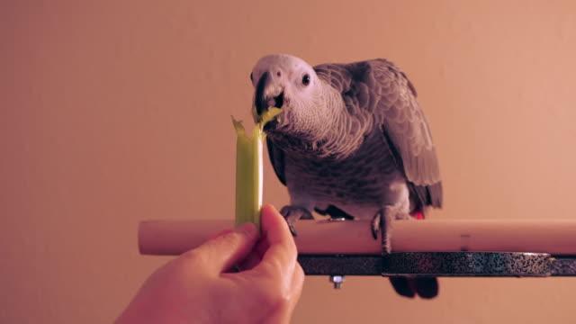 african grey parrot eating celery - celery stock videos & royalty-free footage