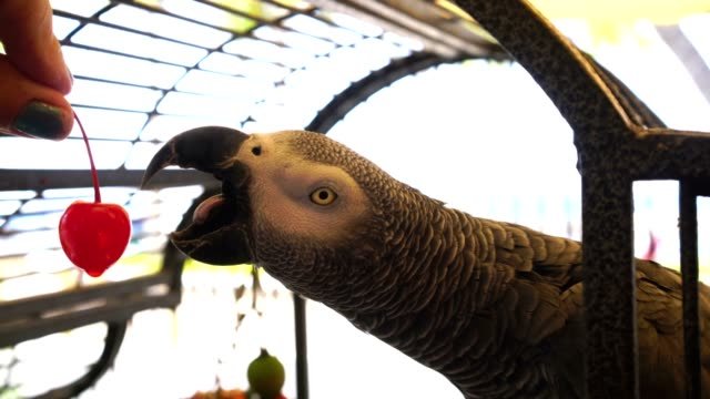 african grey parrot eats a cherry, video - grey stock videos & royalty-free footage