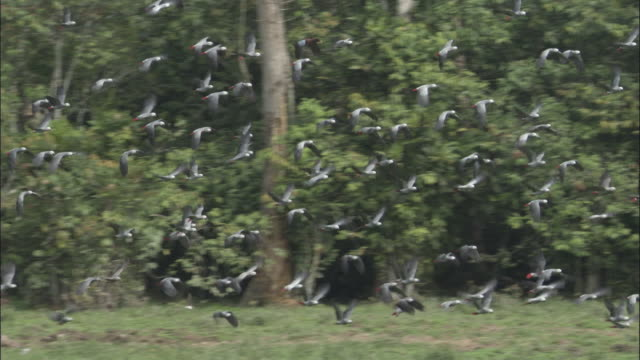 african grey parrot (psittacus erithacus) flock flies in forest clearing, central african republic - grey stock videos & royalty-free footage