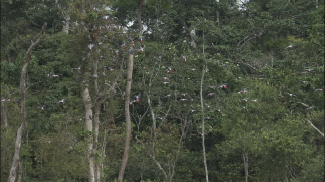 vidéos et rushes de african grey parrot (psittacus erithacus) flock flies into tree, central african republic - forêt tropicale humide