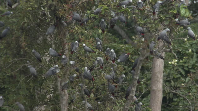african grey parrot (psittacus erithacus) flock in tree, central african republic - living organism stock videos & royalty-free footage