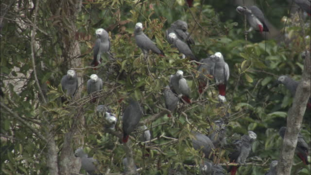 african grey parrot (psittacus erithacus) flock in tree, central african republic - grey stock videos & royalty-free footage