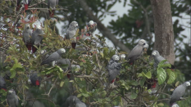 stockvideo's en b-roll-footage met african grey parrot (psittacus erithacus) flock in tree, central african republic - vogelzwerm