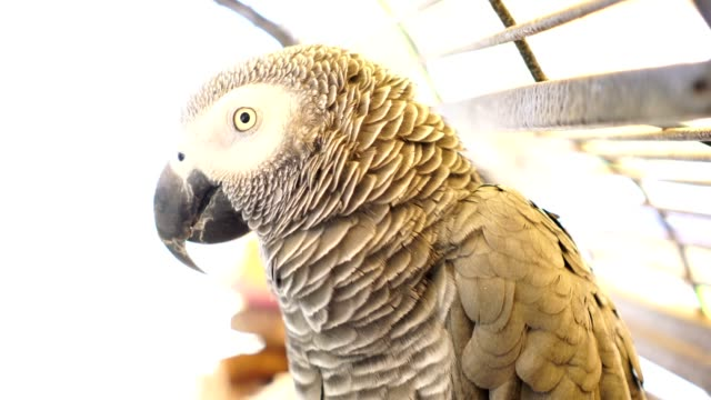 african grey parrot looks into the camera, video - grey stock videos & royalty-free footage