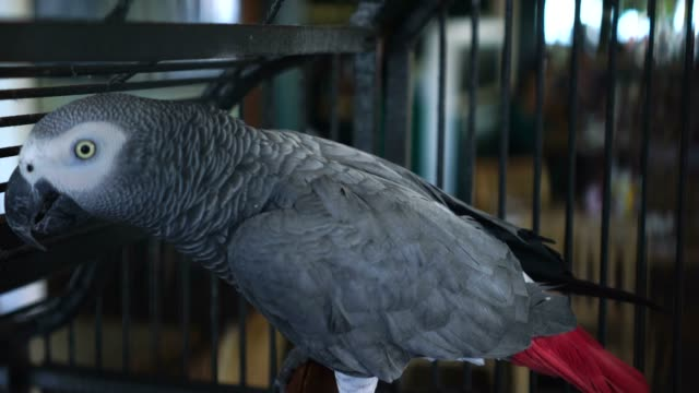 african grey parrot shows its tail feathers - grey colour stock videos & royalty-free footage