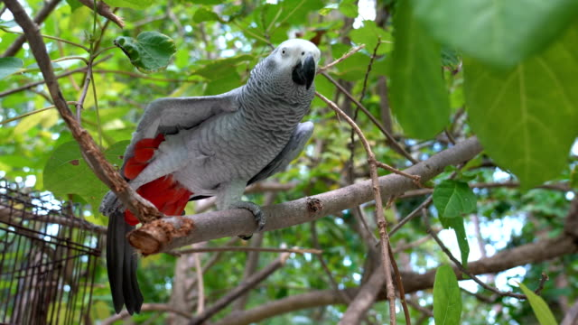 african grey parrots on the branch - grey stock videos & royalty-free footage