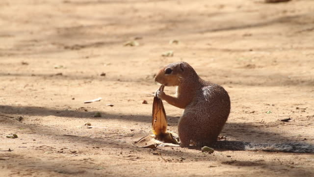 african ground squirrel eating banana peel - roditore video stock e b–roll