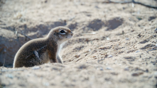 MS SELECTIVE FOCUS African ground squirrel (Xerus) in den / Kgalagadi Transfrontier Park, Kgalagadi District, South Africa