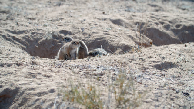 MS African ground squirrels (Xerus) in desert / Kgalagadi Transfrontier Park, Kgalagadi District, South Africa
