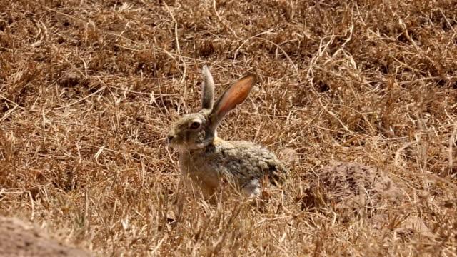 african hare - paura video stock e b–roll