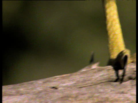 african harrier hawk's scaly feet and talons walk along branch, africa - 鳥の鉤爪点の映像素材/bロール