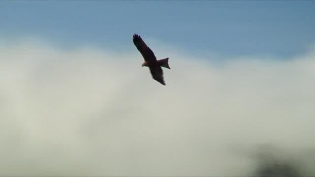 vídeos y material grabado en eventos de stock de ws african hawk flying around ngorongoro crater area / serengeti, tanzania - halcón