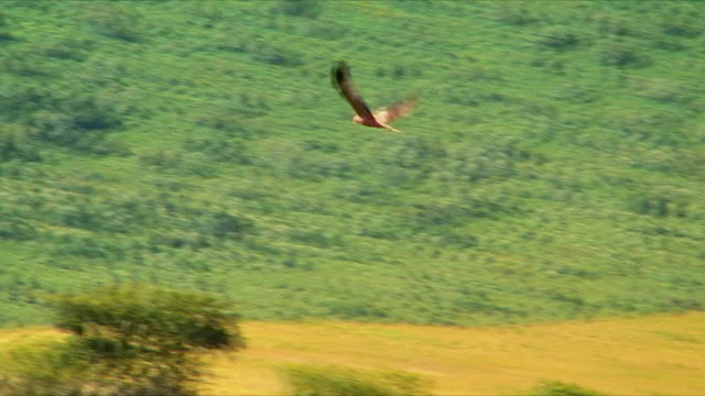 WS PAN African Hawk flying around Ngorongoro Crater area / Serengeti, Tanzania
