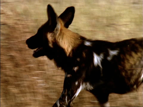 African hunting dog (Lycaon pictus) runs over savannah, Okavango Delta, Botswana