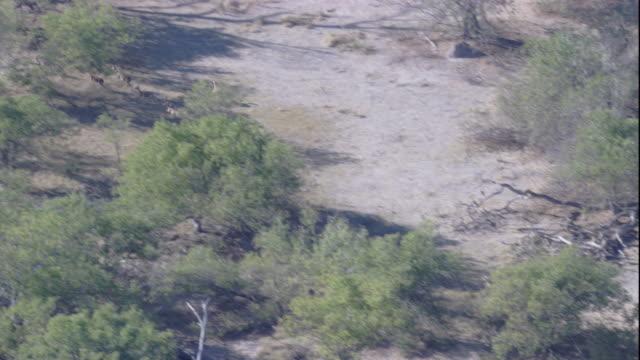 vídeos y material grabado en eventos de stock de african hunting dogs chase a herd of impalas across the okavango delta. available in hd. - delta de okavango