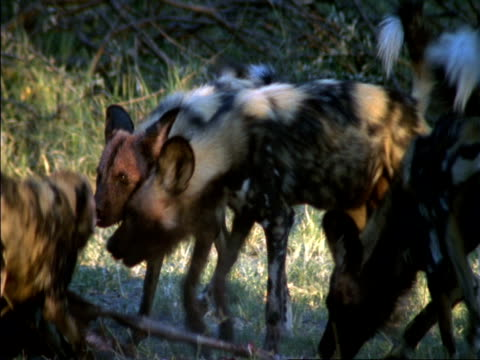 african hunting dogs (lycaon pictus) devour impala prey, okavango delta, botswana - medium group of animals stock videos & royalty-free footage