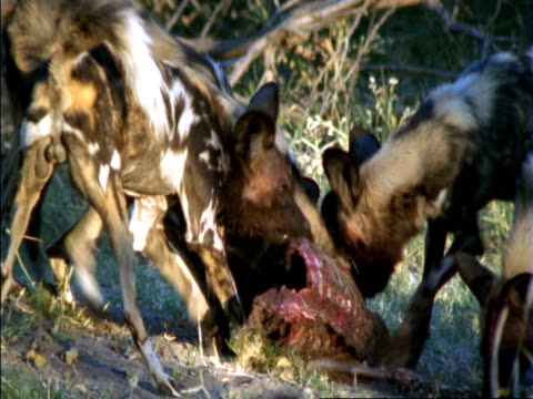 african hunting dogs (lycaon pictus) devour impala prey, okavango delta, botswana - cinque animali video stock e b–roll