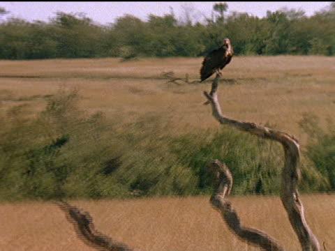 vidéos et rushes de african hyenas and vultures wait and watch, while lions eat a carcass. - se nourrir des restes