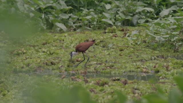 vidéos et rushes de african jacana walking on water plants / sudd swamps, south sudan, africa - plaque de montage fixe