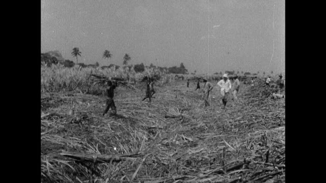 reenactment african laborers working in the sugarcane fields on island plantations / united kingdom - sugar cane stock videos & royalty-free footage