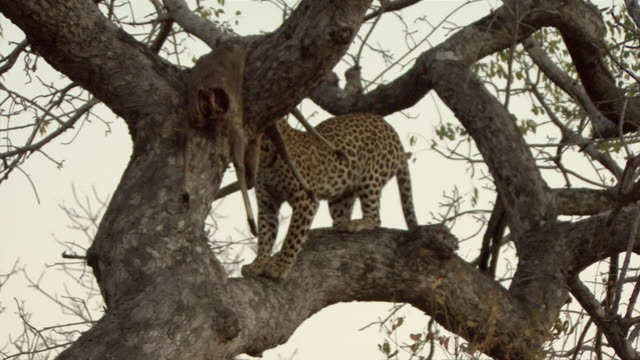 ws ts african leopard (panthera pardus pardus) jumping on tree branches in kruger national park / mpumalanga province, south africa - mpumalanga province stock videos and b-roll footage