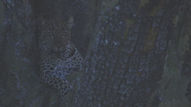 ms african leopard lying in shade in huge tree looks around then climbs down - 迷彩柄点の映像素材/bロール