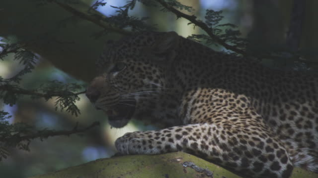 CU African Leopard lying in shade on branch and panting